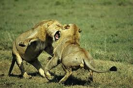 Lions fighting.png