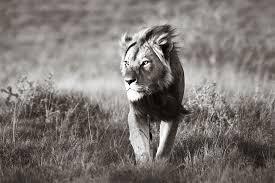Lion walking looking for prey